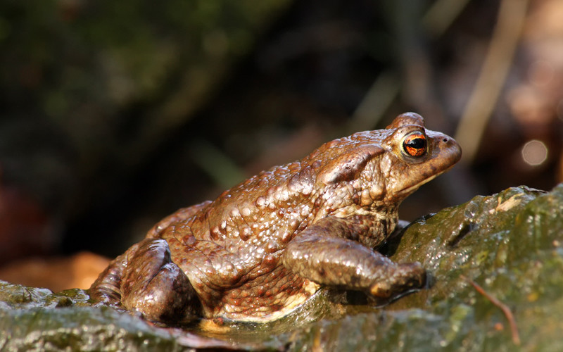 Toad-species of amphibians