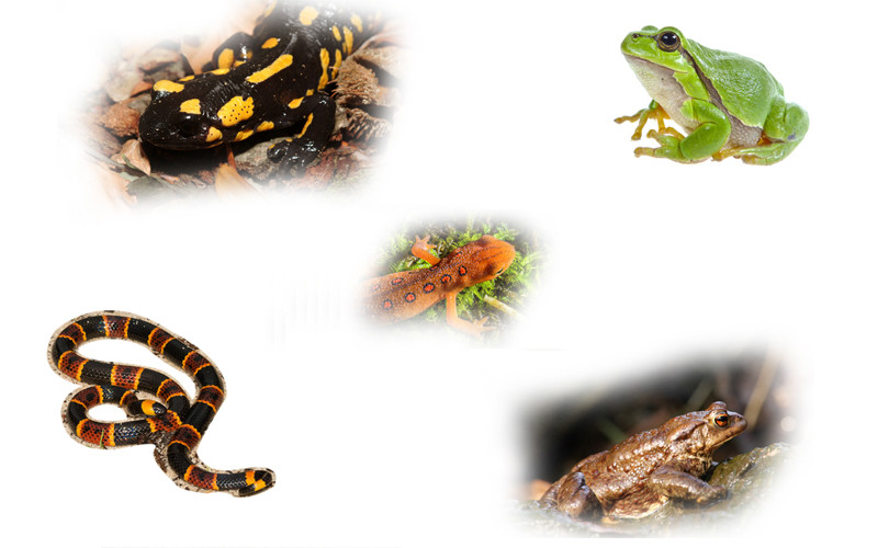 amphibians amphibia frogs toads salamanders newts and