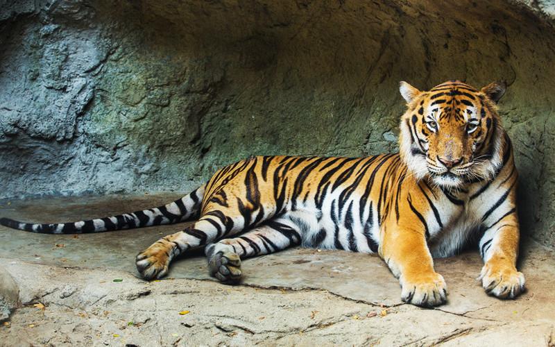 Bengal Tiger, Big Cats, Panthera Tigris Tigris, Tigers in ...