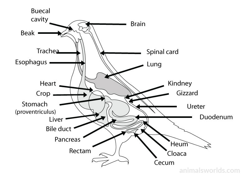 Duck Anatomy Diagram Gallery Human Body Anatomy
