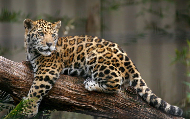 wild Jaguar in animal world
