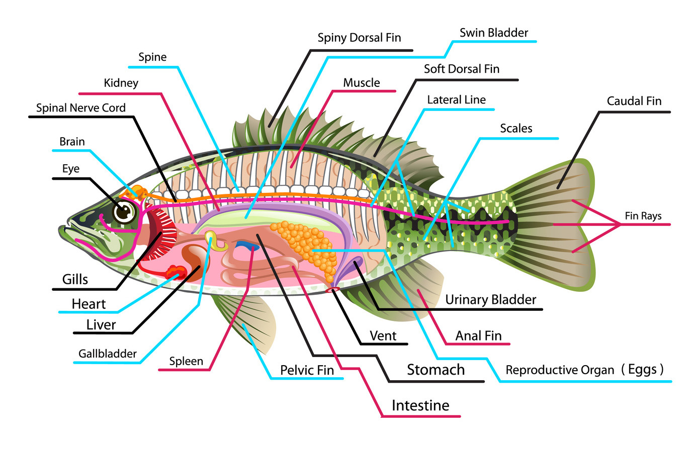Fish internal anatomy diagram