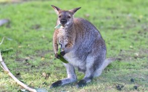 mammal kangaroo in animals worlds