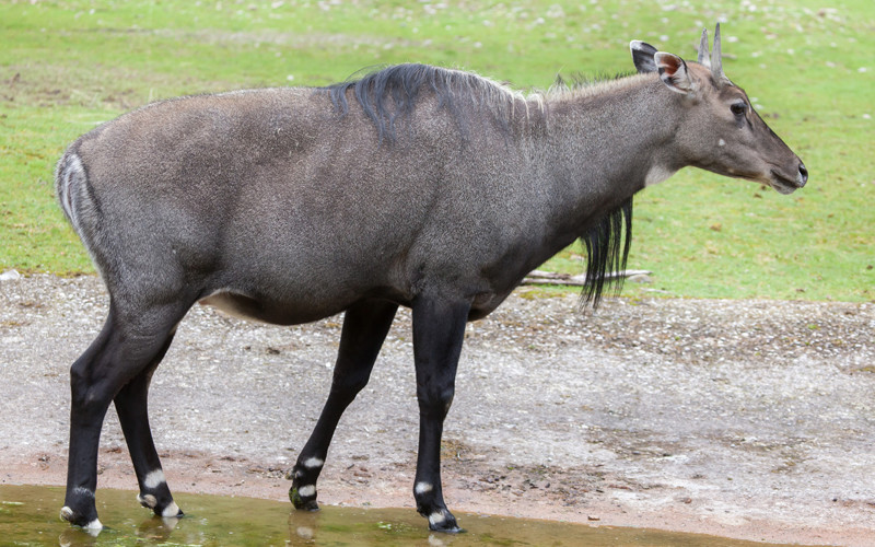 nilgai on move