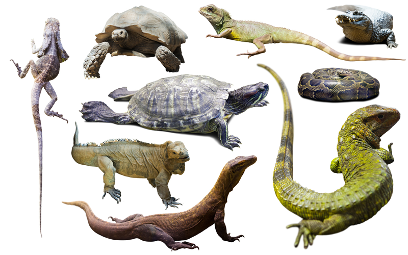 Reptiles, Classification of Reptiles, Reptiles Anatomy ...