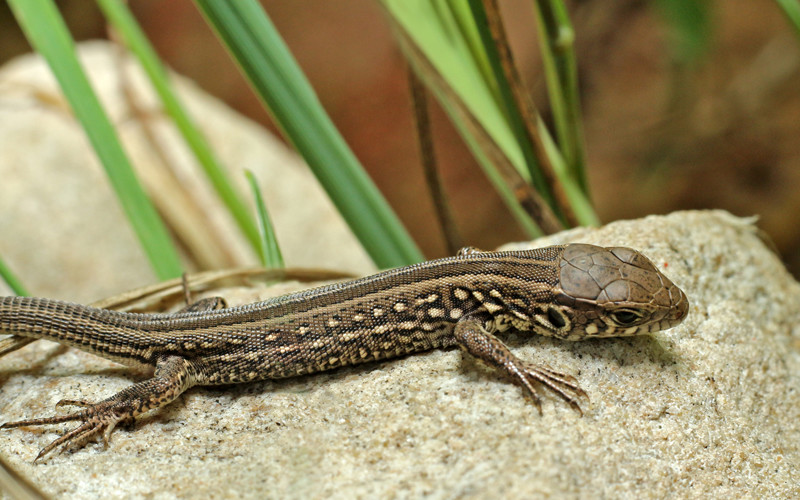 Classification Of Reptiles Reptiles Anatomy Cold Blooded Animals