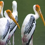 Painted Stork - Broad Winged Soaring Bird