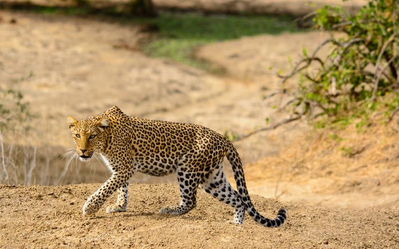 ca6e7a2748 Leopard